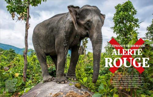Ko Myo's work on elephants in Myanmar published in French GEO Magazine